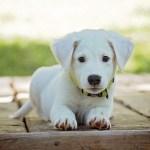 フィラリアが犬に寄生している時の症状と対処法、予防策