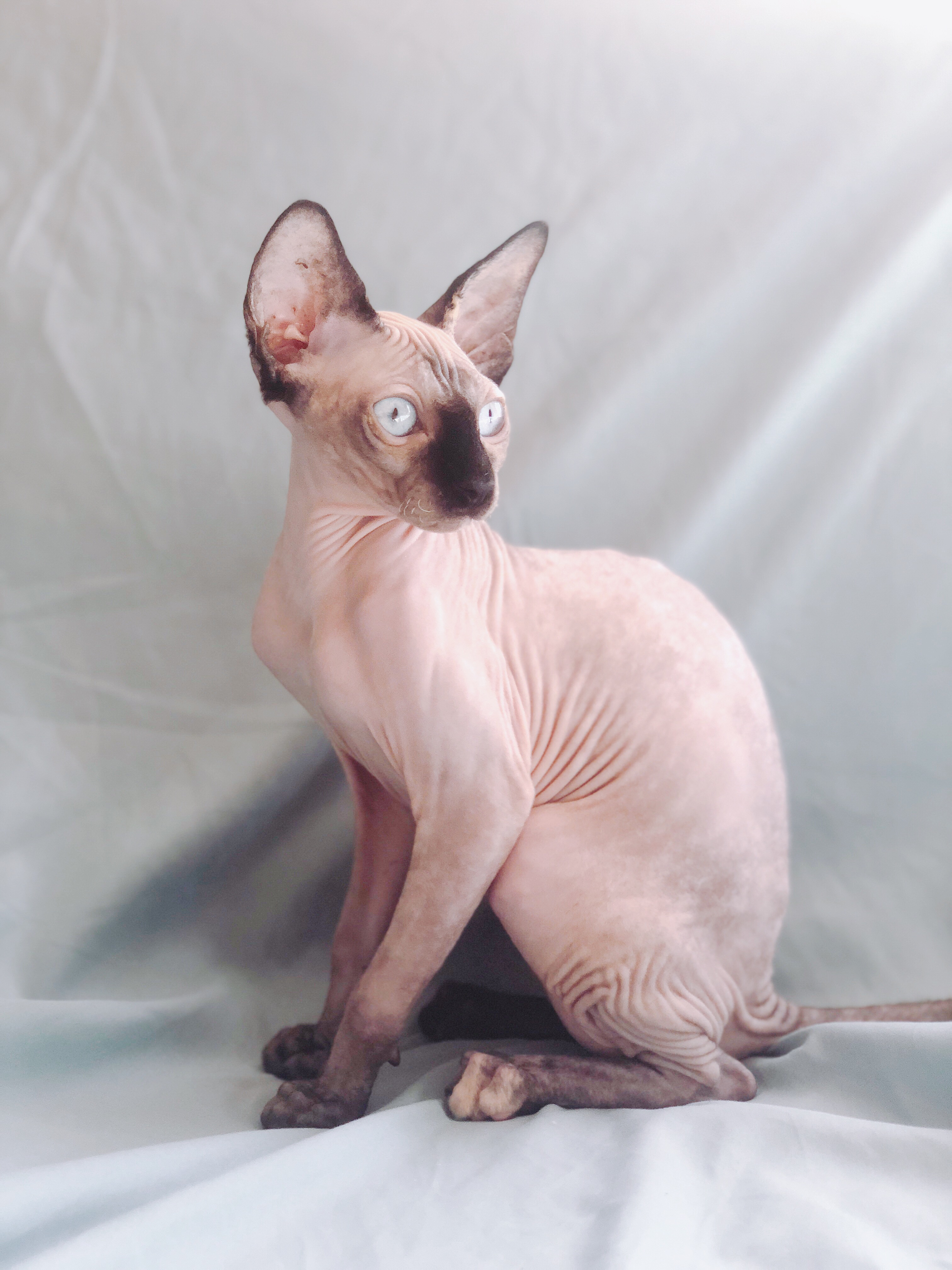 Sphynx Lilac / Seal Point Kitten (Imported) - Pet O Pets