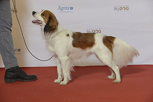 The Nederlandse Kooikerhondje from The Netherlands was recognized as a Sporting breed dog by the American Kennel Club in 2018