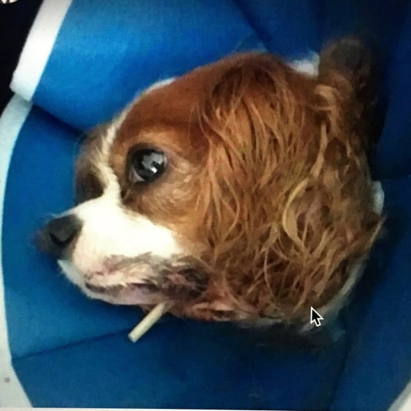 Many are now seeking justice for dog on dog maulings in every state. Here is Buckles after undergoing reconstructive jaw surgery