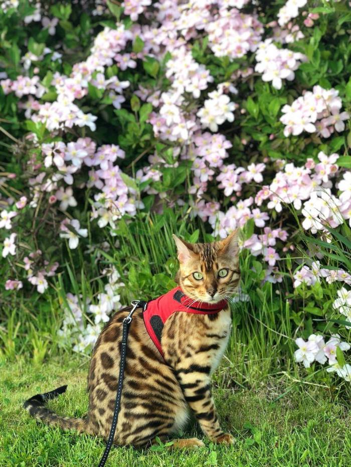 Since cats are more delicate than dogs, a snug-fitting, fabric harness vest is ideal