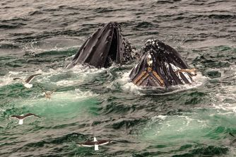 Whales are omnivores, here a humpback feeding. Photo by Murray Foubister