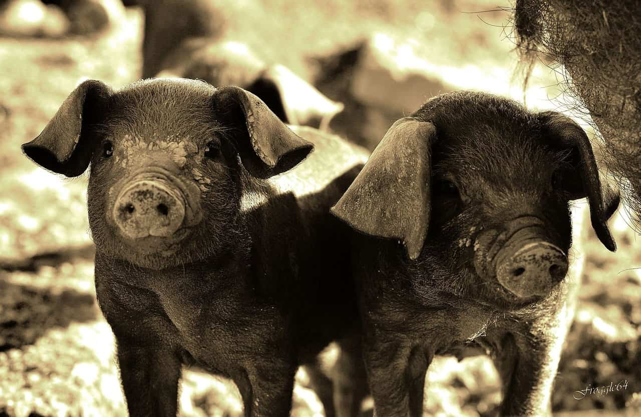 Most Common Breeds of Pet Pigs | Pet Pig World