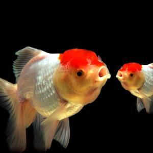 口をパクパクする金魚