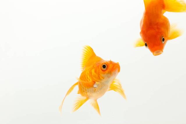 金魚がなつく方法。金魚と信頼関係を築こう