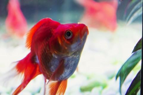金魚の餌は何がベスト?金魚に最適な餌を選ぼう