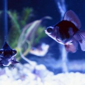 金魚の尾ぐされ病とは何か