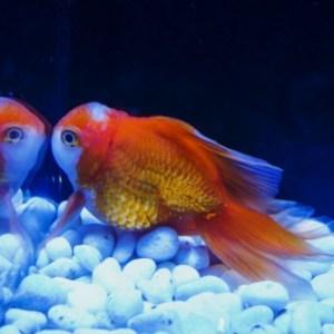 金魚がかかりやすい病気