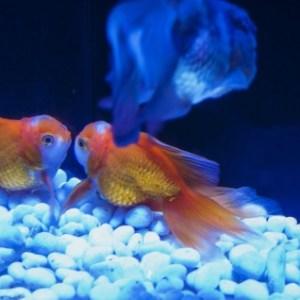 金魚が妊娠しているか見分ける方法