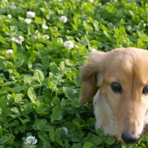 垂れ耳な犬種