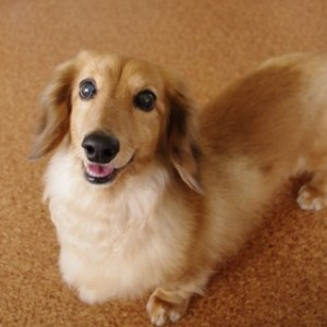 飼いやすい室内犬の種類
