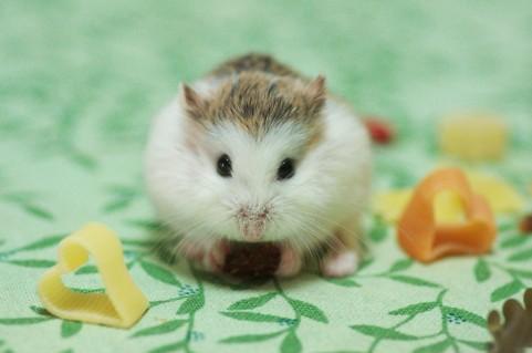 ハムスターは餌に何をあげれば良いの?ペレットが一番無難な餌
