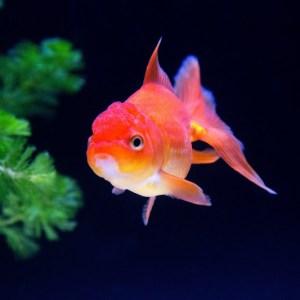 金魚を長生きさせるためのコツ