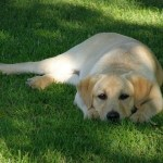 Remedies for Arthritis in Dogs: Glucosamine, Chondroitin Sulfate, Steroids, and NSAIDs