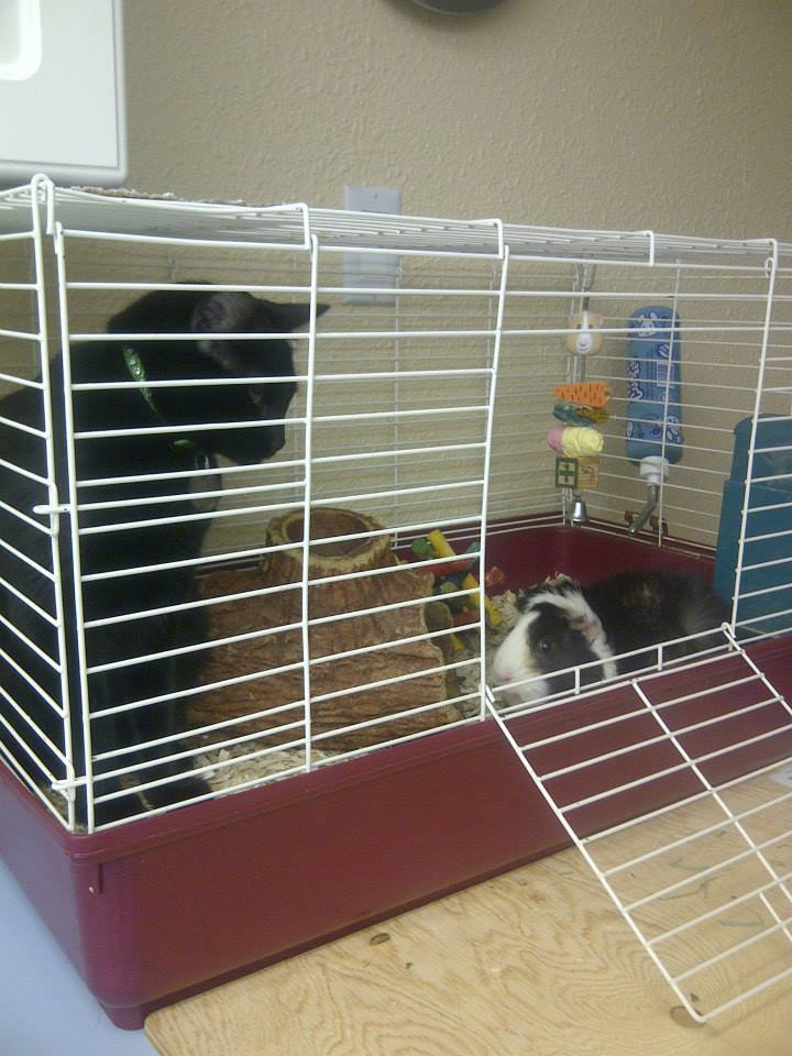 Rosie the riveting guinea pig pet radio magazine for Guinea pig cages for two