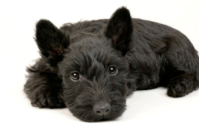 scottish-terrier-akc-coal-blue-black-puppies_401577