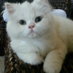Hunter the 3 legged Persian is Special With a Story That Will Warm Your Heart