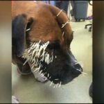 Couple Saves Stray Dog From Porcupine: Would you do the same?