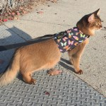 A Step-By-Step Guide for Harness and Leash Training Your Cat