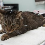 "UNDERSTANDING THE ""POINT"" OF ACUPUNCTURE FOR CATS AND DOGS"