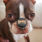 How to Keep a Boston Terrier Entertained