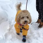 Podcast-Winter Boots and Gear For Dogs