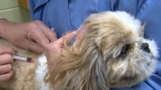 Podcast-This Years Dog Flu Now Coast to Coast-What You can Do