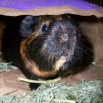 Guinea Pigs 101: An introduction to the real life Tribble
