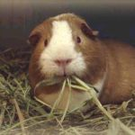 Guinea Pig Nutrition-Keeping Your Cavy Healthy