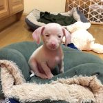 Meet Piglet: A Special Needs Pup that Will Make Your Day