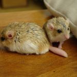The Cuddly Fat-Tailed Gerbil
