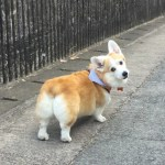 Corgi Butt Tribute- the four types of Corgi Butt
