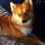 This Dog Mya is Quite a Fox
