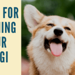 3 Tips For Training Your Corgi