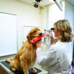 How a veterinary ophthalmologist is addressing a disease that can affect golden retrievers