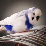 How to Care for an Aging Parakeet