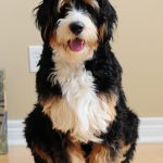 What is an F1 Bernedoodle?