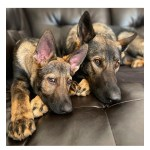How Two German Shepherds Are Changing The World