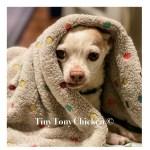 """The Story of Tiny Tony """"Chicken"""" The  Chihuahua"""