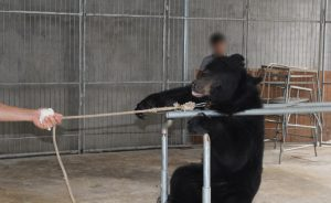 Baby bears being trained for circus 3