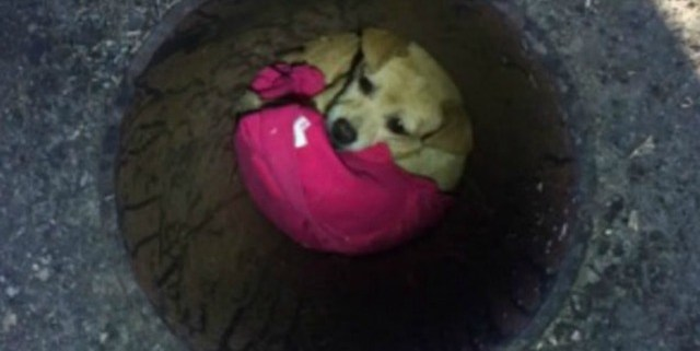 chihuahua-rescued-from-storm-drain
