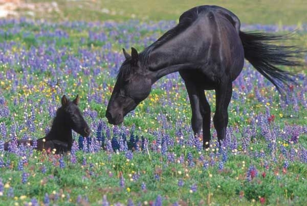 feral_horse_and_foal_-_pryor_mountain_wild_horse_range_-_montana