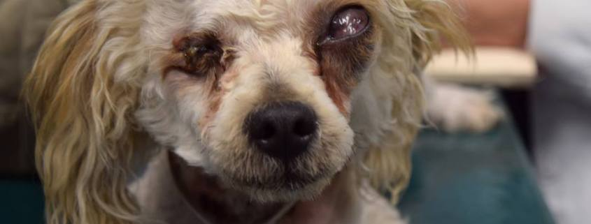 Neglected dog to lose eyes