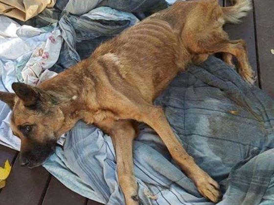 Emaciated shepherd dumped by garbage