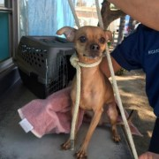 chihuahua-with-rope