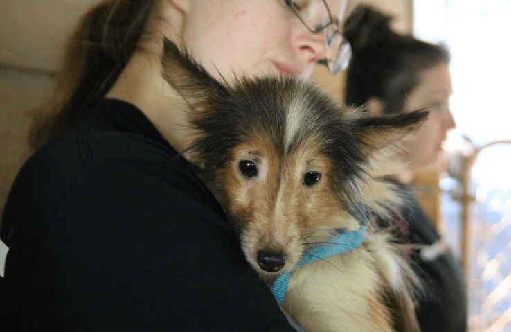 50 shelties rescued