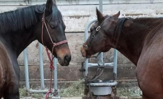 horses-hit-with-acid