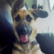 German shepherd puppy stolen