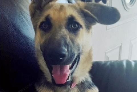 German shepherd puppy stolen
