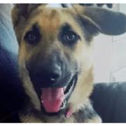 Stolen shepherd has been found
